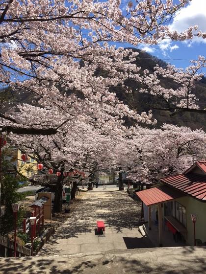 鬼怒川護国神社のソメイヨシノ写真
